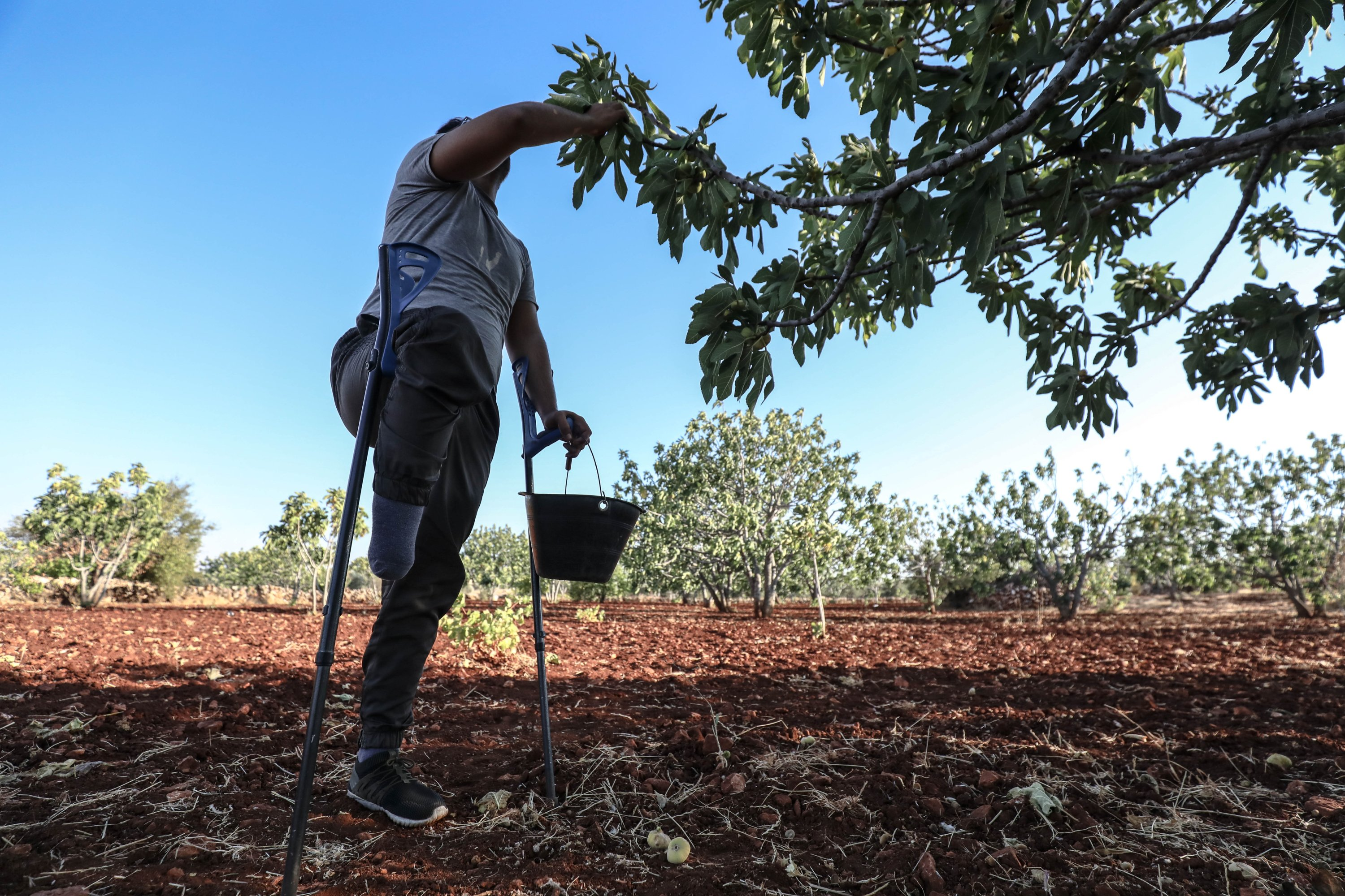 Shakir Zeytin, who lost his right foot after the explosion of a mine laid by the regime forces, harvest his figs in the Jabal al-Zawiya region of Idlib governorate, northwestern Syria, Aug. 24, 2021. (AA Photo)