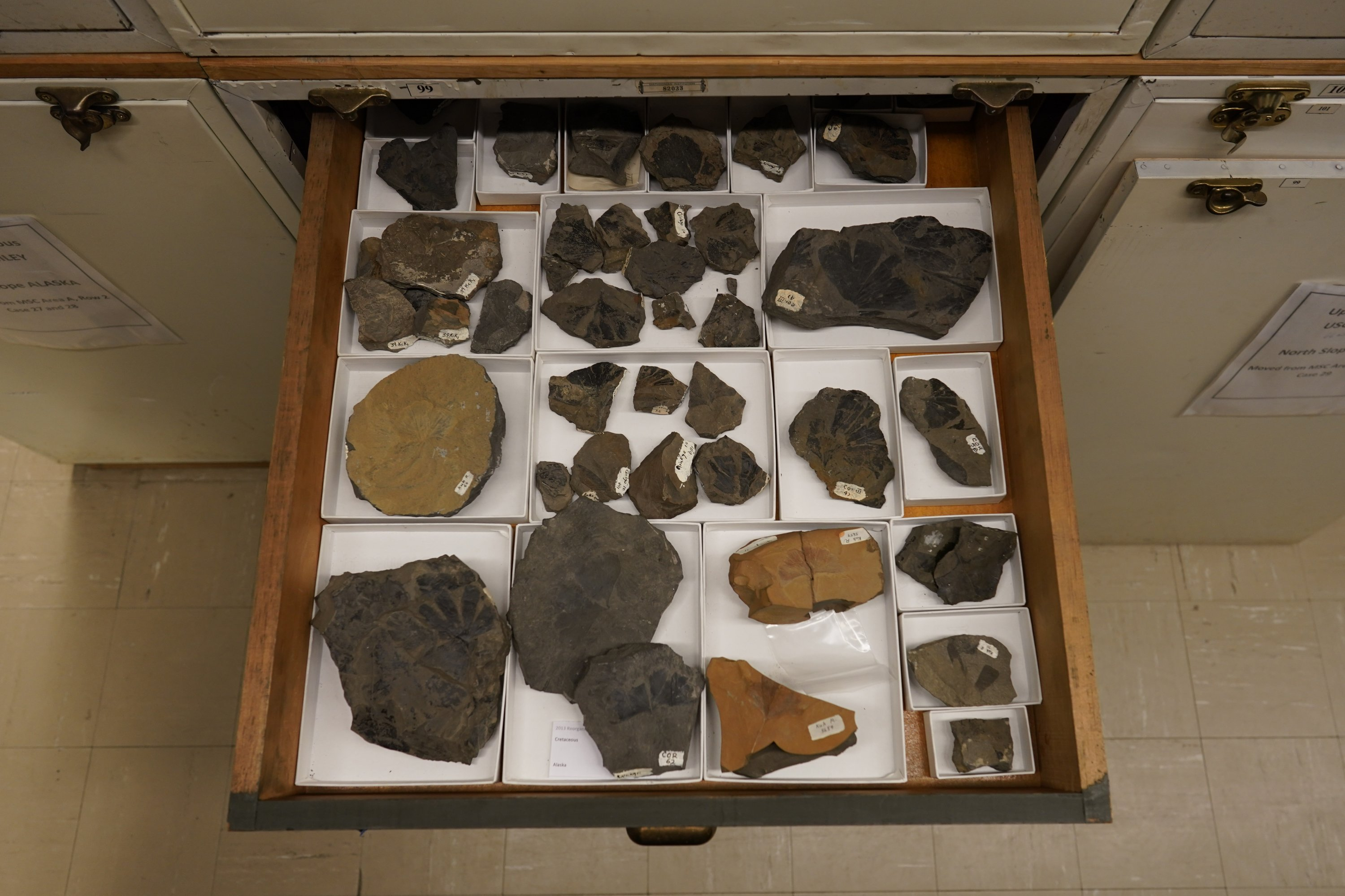 A drawer of Late Cretaceous ginkgo leaf fossils from Alaska's North Slope is seen in the archives of the National Museum of Natural History in Washington, U.S., June 4, 2021. (AP Photo)