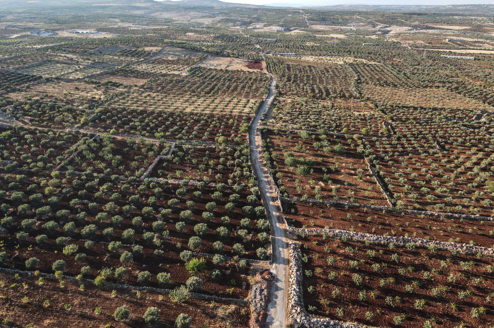 Fig trees are seen in the Jabal al-Zawiya region of Idlib governorate, northwestern Syria, Aug. 24, 2021. (AA Photo)