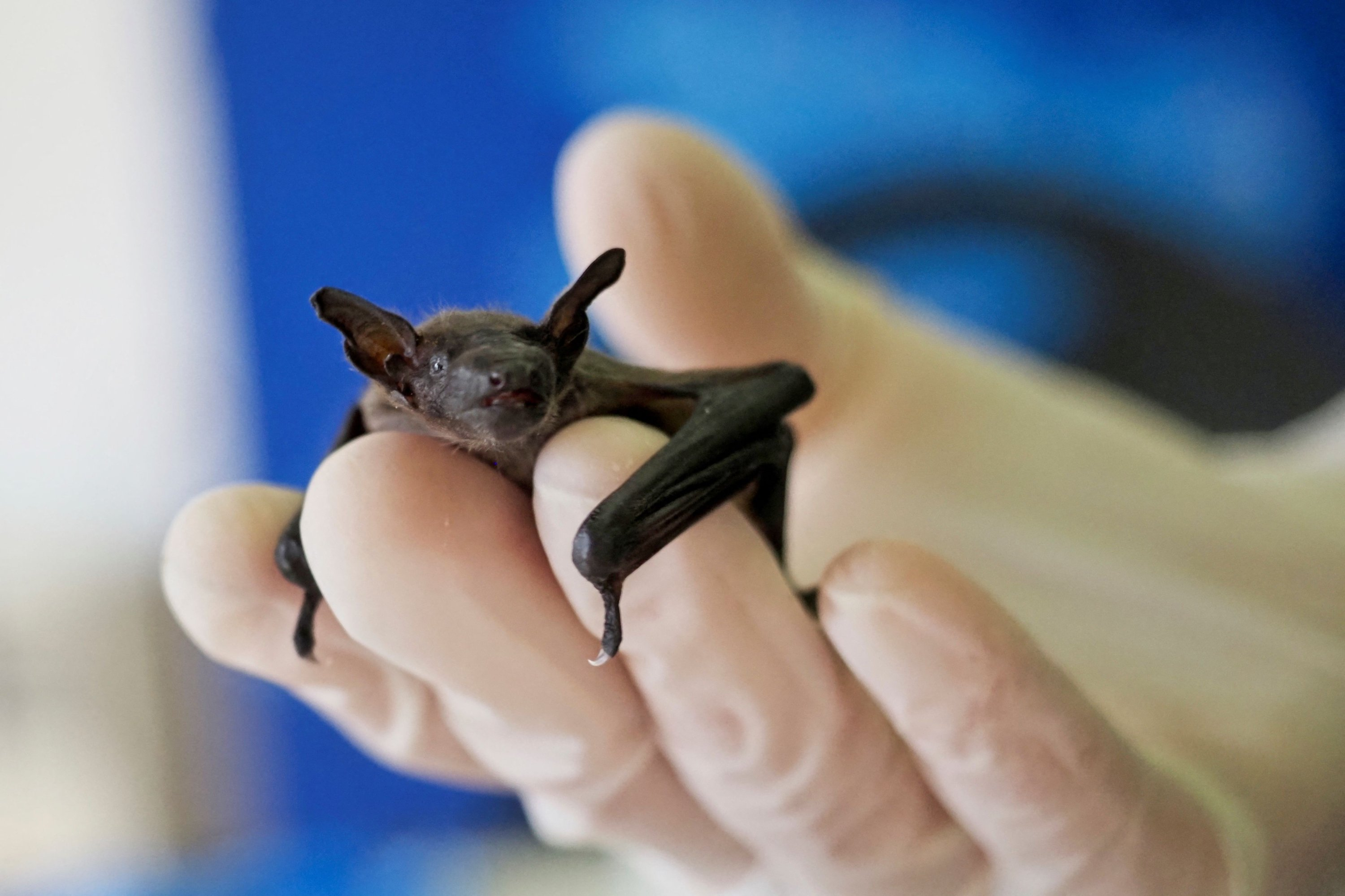 This file photo taken on June 30, 2020 shows a juvenile Pipistrelle bat laying in a human hand at the Natural Museum History of Bourges. (AFP Photo)