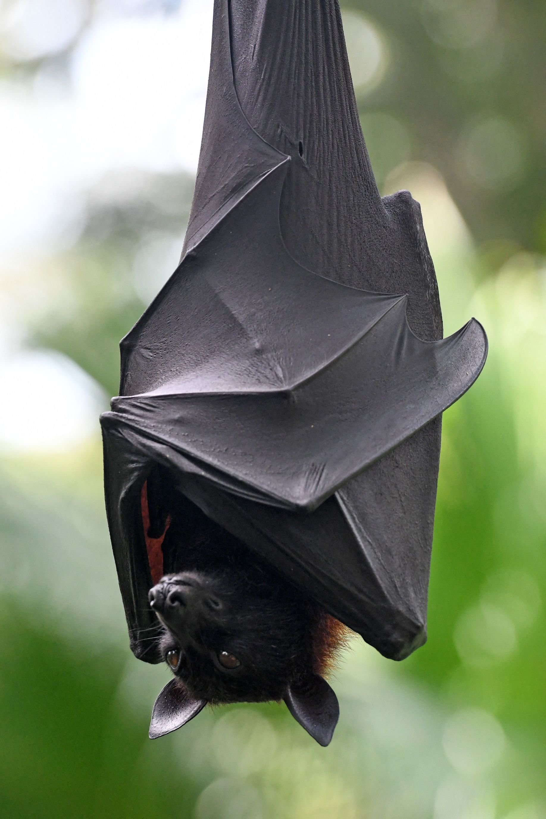 This file photo taken on July 6, 2020 shows a Malayan flying fox hanging on a branch in an enclosure at the Singapore Zoo in Singapore.  (AFP Photo)