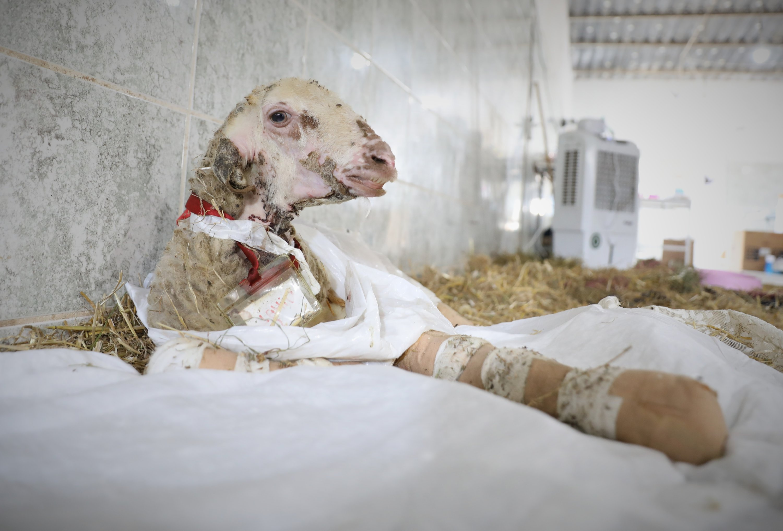 An injured lamb rests in the farm in Bursa, northwestern Turkey, Aug. 26, 2021. (DHA PHOTO)