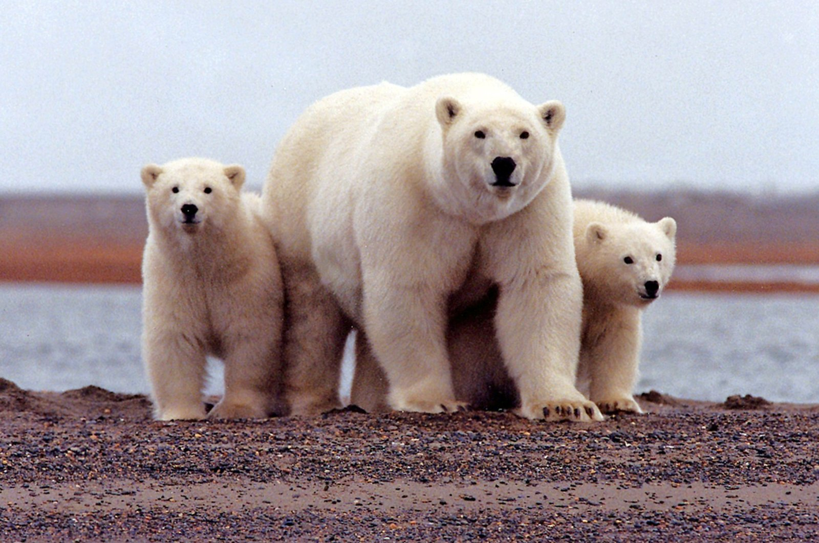 A polar bear keeps close to her young along the Beaufort Sea coast in Arctic National Wildlife Refuge, Alaska, U.S., March 6, 2007. (Reuters File Photo)