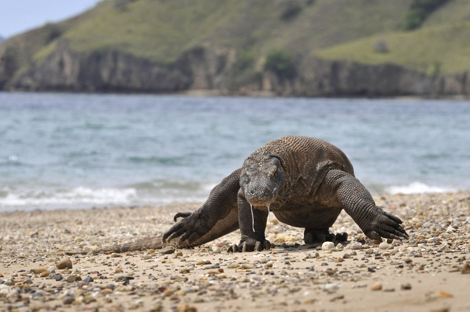 A Komodo Dragon searches the shore area of Komodo island for prey, Dec. 2, 2010. (AFP Photo)