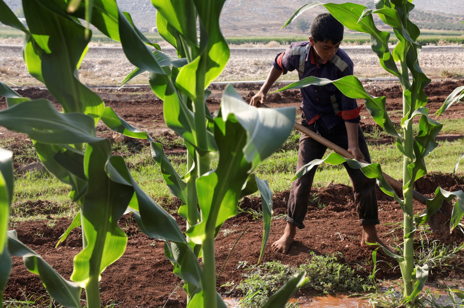 An internally displaced Syrian boy works in a field in the Aleppo countryside, Syria, Aug. 29, 2021. (Reuters Photo)