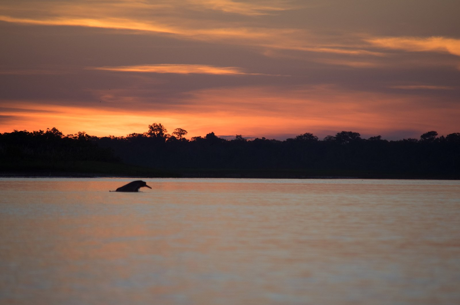 A pink river dolphin at dusk on the Amazon river. (Shutterstock Photo)
