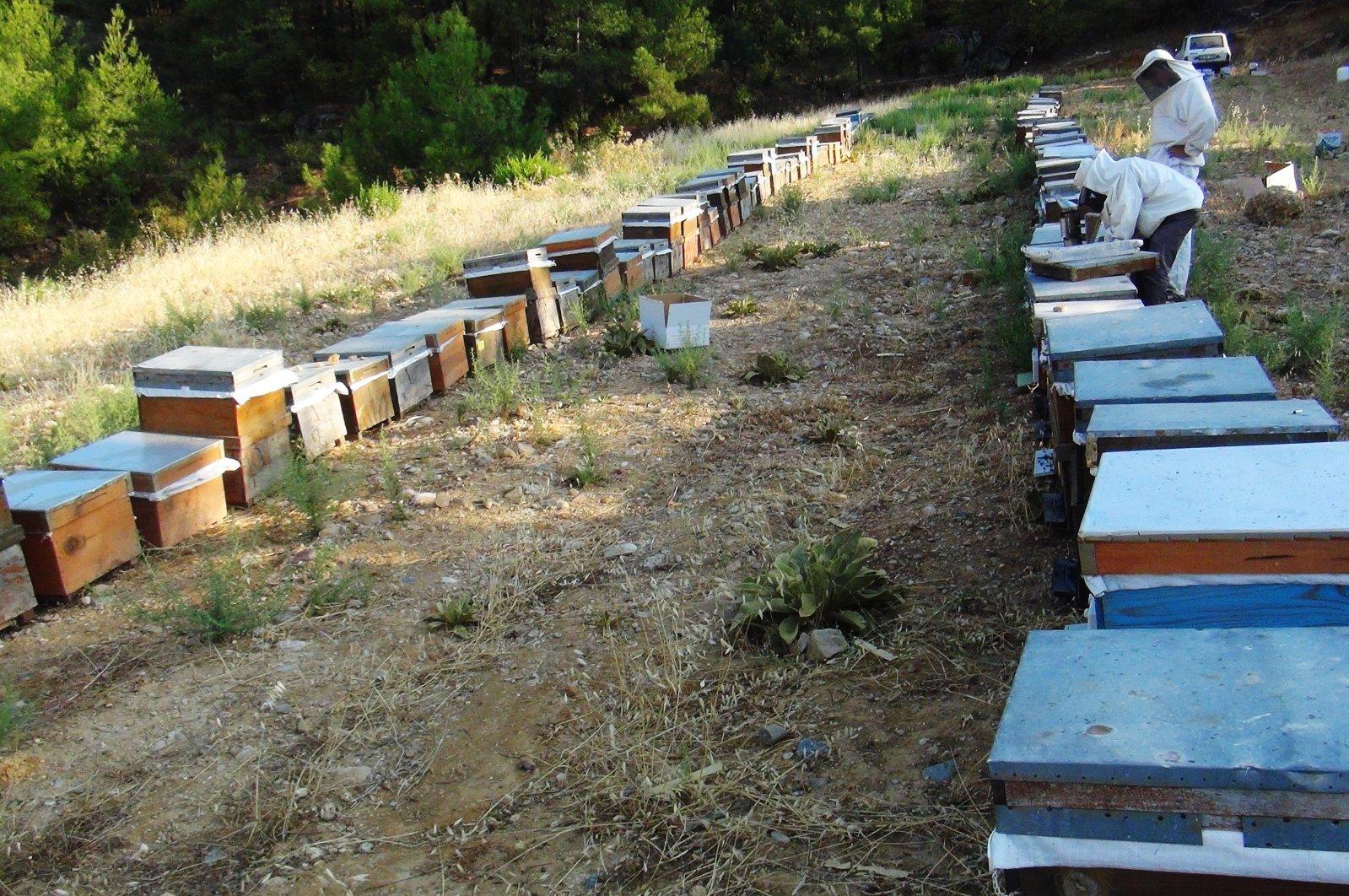 Beekeepers attend beehives in a forest in Muğla, southwestern Turkey, Sept. 7, 2021. (İHA PHOTO)