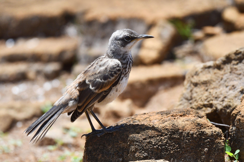 An endangered San Cristobal Mockingbirdin Galapagos Islands, Ecuador. (Shutterstock Photo)