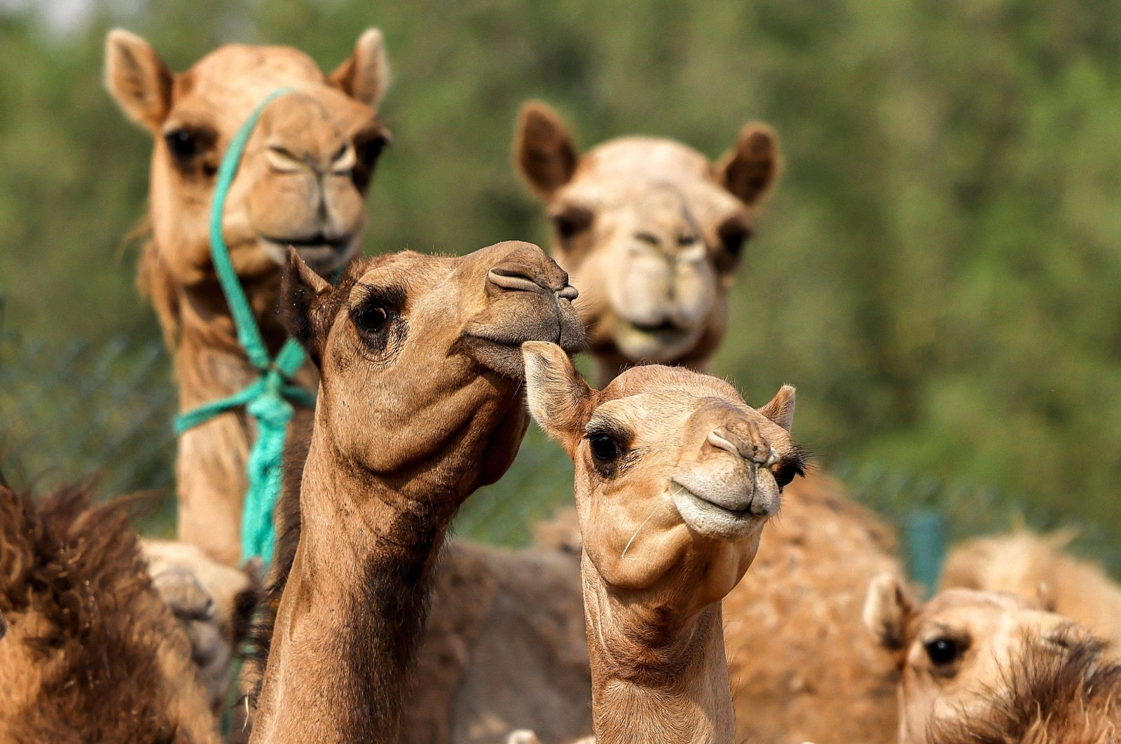 A view of cloned camel calves in a pen at the Reproductive Biotechnology Center in Dubai, UAE, June 4, 2021. (AFP Photo)