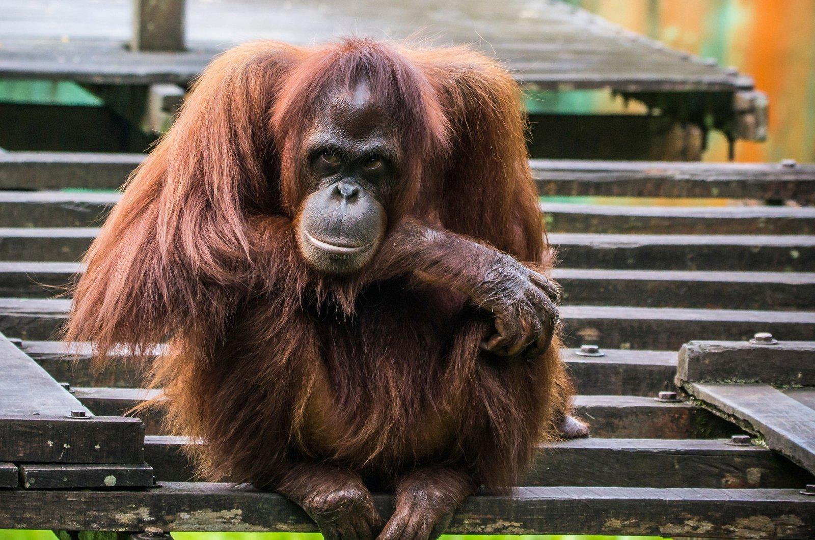 An orangutan rests on a step, in Sabah, Malaysia. (Shutterstock Photo)