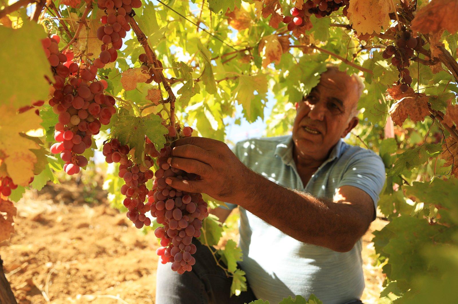 Mehmet Baysal shows the grapes he grew in Bingöl, eastern Turkey, Sept. 13, 2021. (AA Photo)