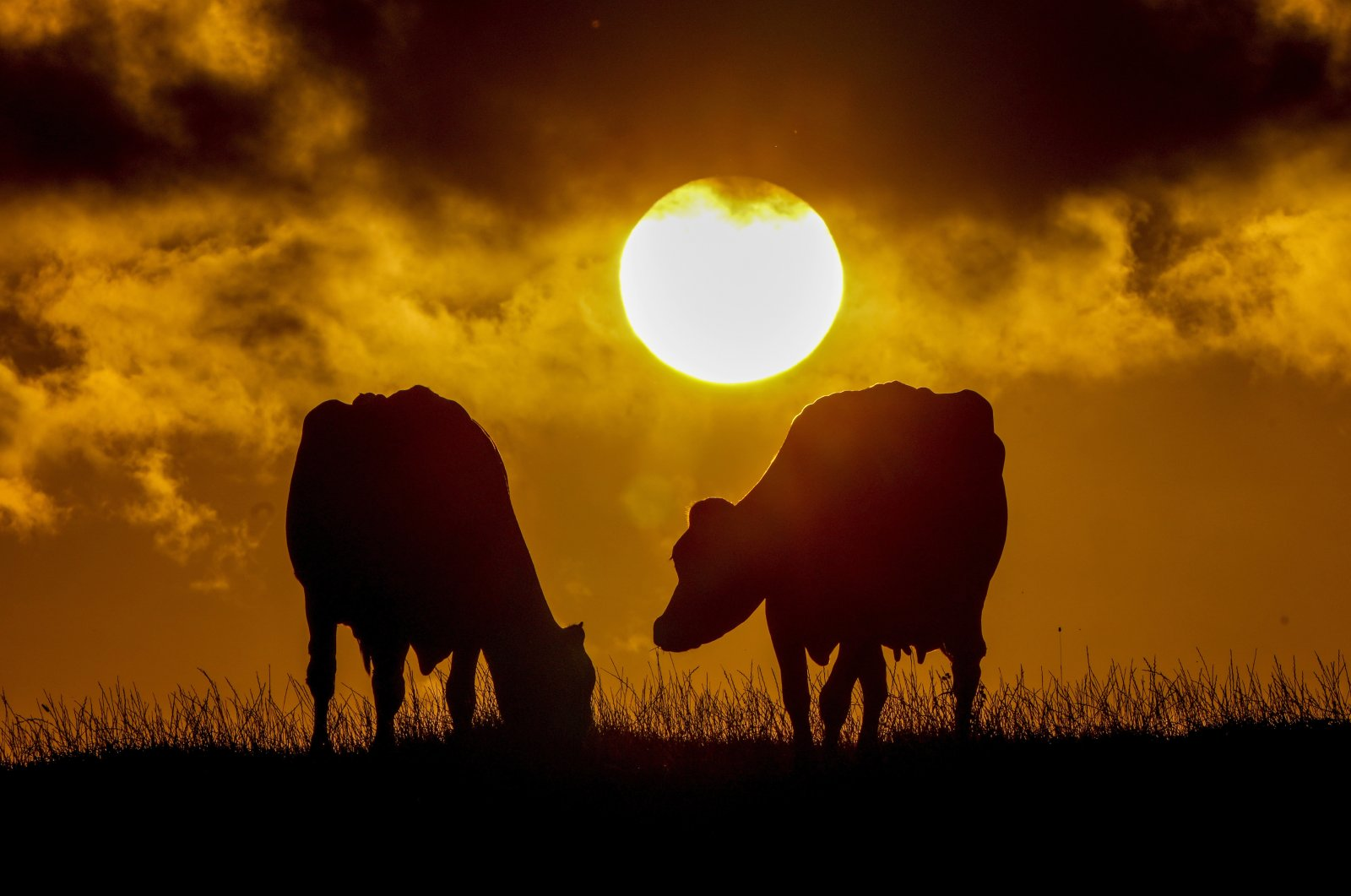 Cows graze on a meadow as the sun sets in the village of Warnsdorf at the Baltic Sea, Germany, Sept. 4, 2021. (AP Photo)