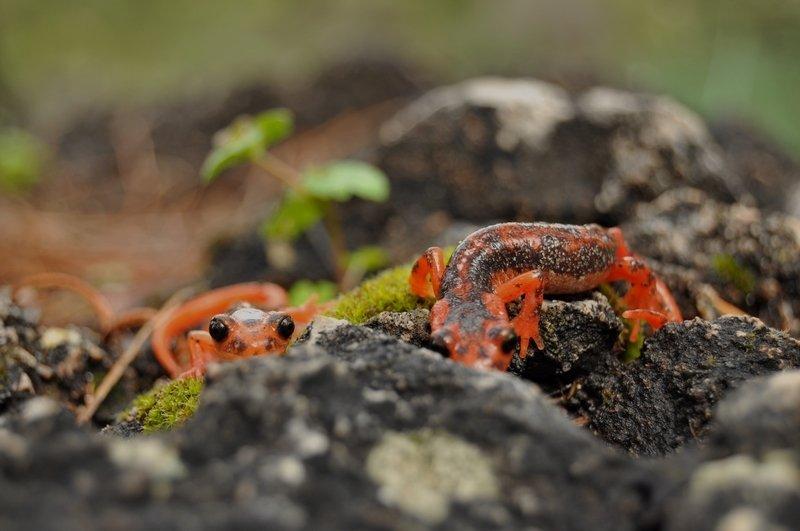 View of a Fazila's salamander endemic to Turkey, in Muğla, southwestern Turkey, Sept. 15, 2021. (AA PHOTO)