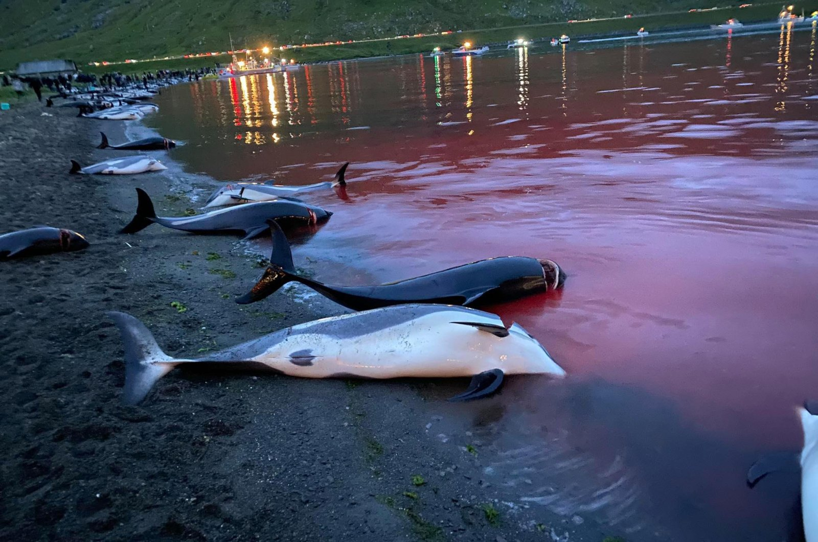 In this image released by Sea Shepherd Conservation Society, the carcasses of dead white-sided dolphins lay on a beach after being pulled from the blood-stained water on the island of Eysturoy, which is part of the Faeroe Islands, Sept. 12, 2021. (Sea Shepherd via AP)