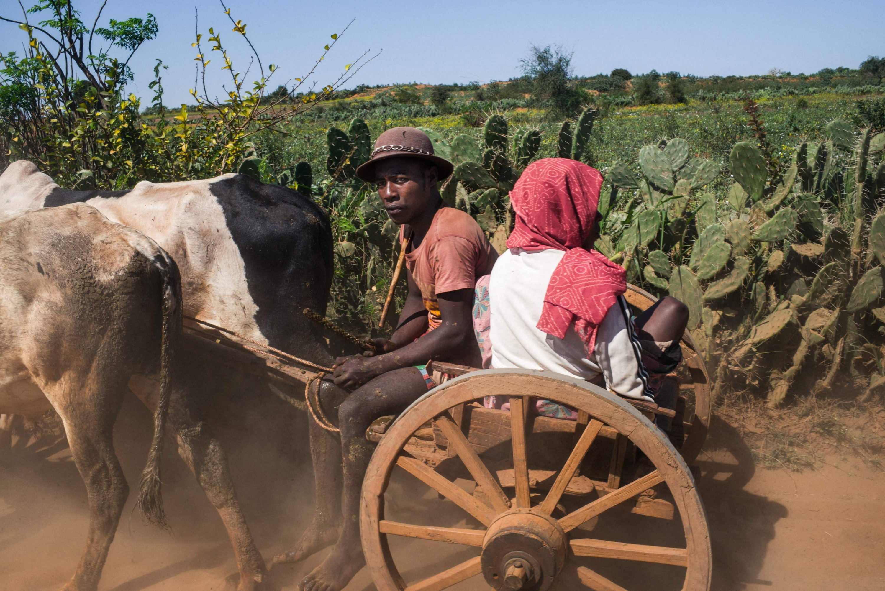 People sit on a cart pulled by zebus on the National Road 13 (RN13) between Ambovombe and Amboasary Atsimo, Madagascar, Sept. 3, 2021. (AFP Photo)