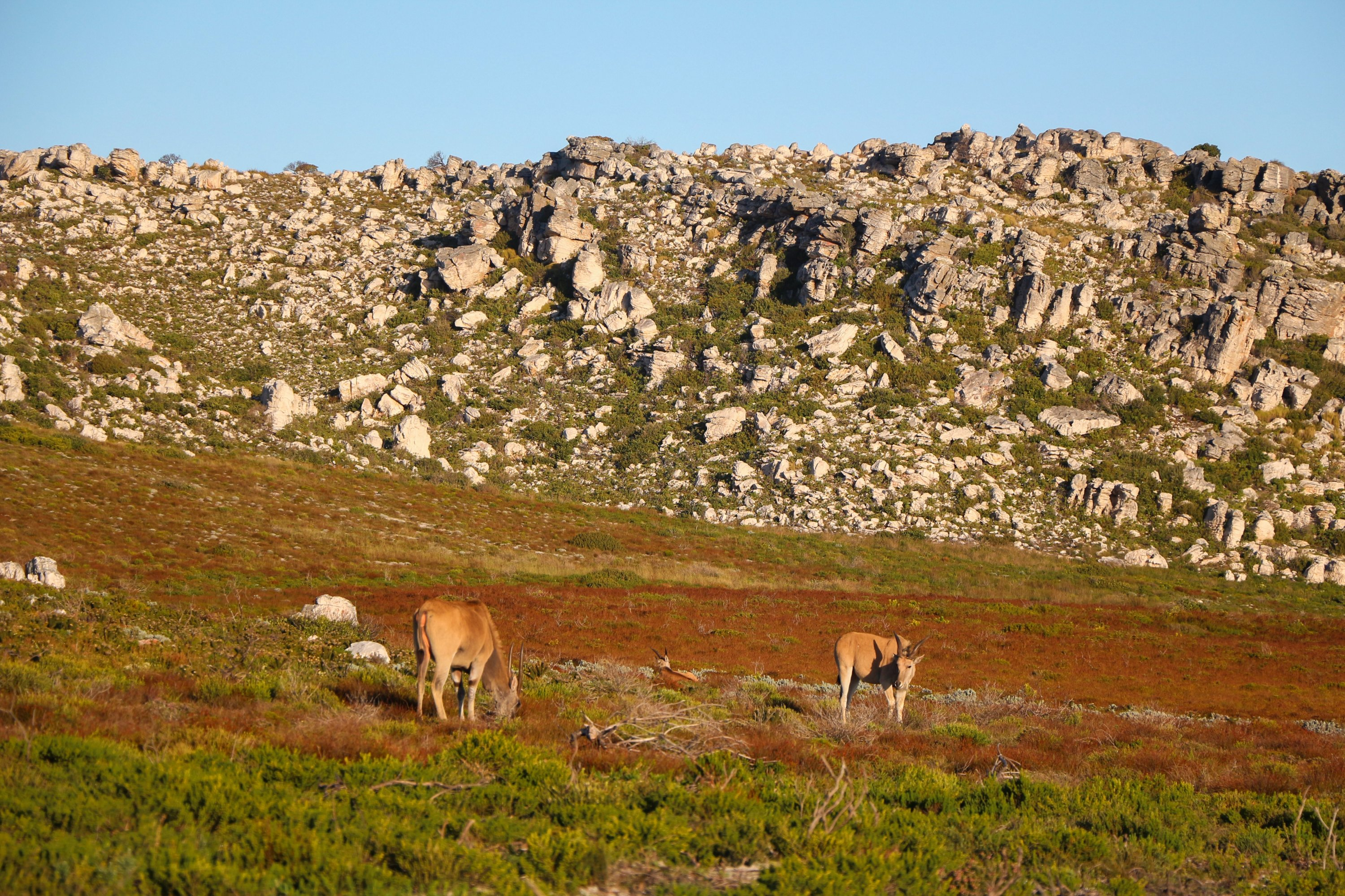 On the Cape Peninsula, you'll see antelopes among other wildlife. (Christian Selz/dpa Photo)