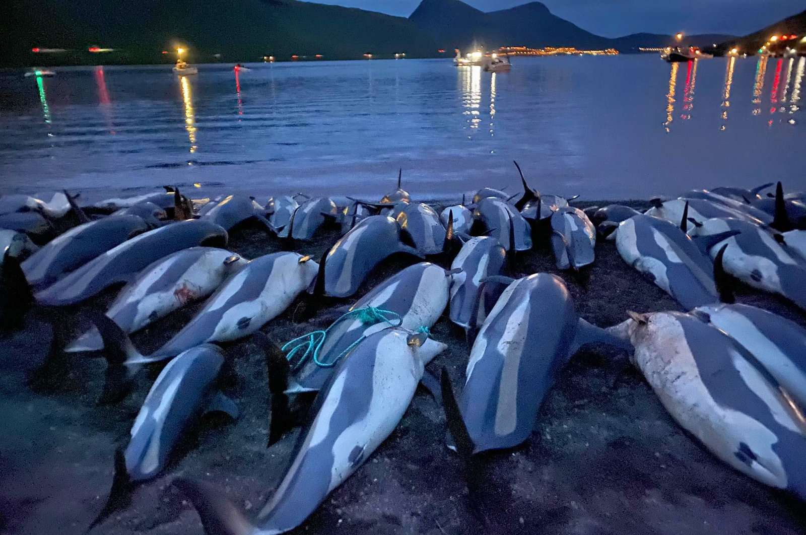 The carcasses of dead white-sided dolphins lie on a beach after being pulled from the blood-stained water on the island of Eysturoy, part of the Faroe Islands, Sept. 12, 2021. (Sea Shepherd via AP)