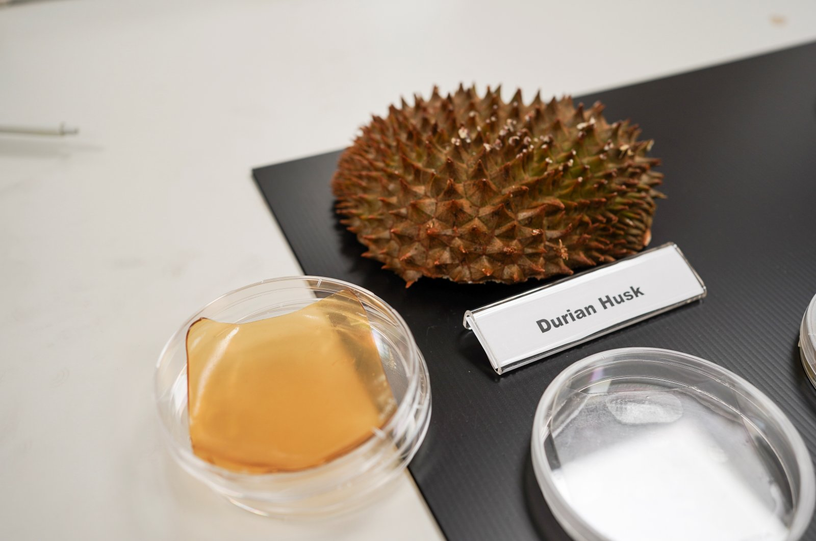 Durian husk and petri dish containing cellulose hydrogel sheet made out of durian husk with yeast phenolics are seen in Singapore, Sept. 16, 2021. (Reuters Photo)