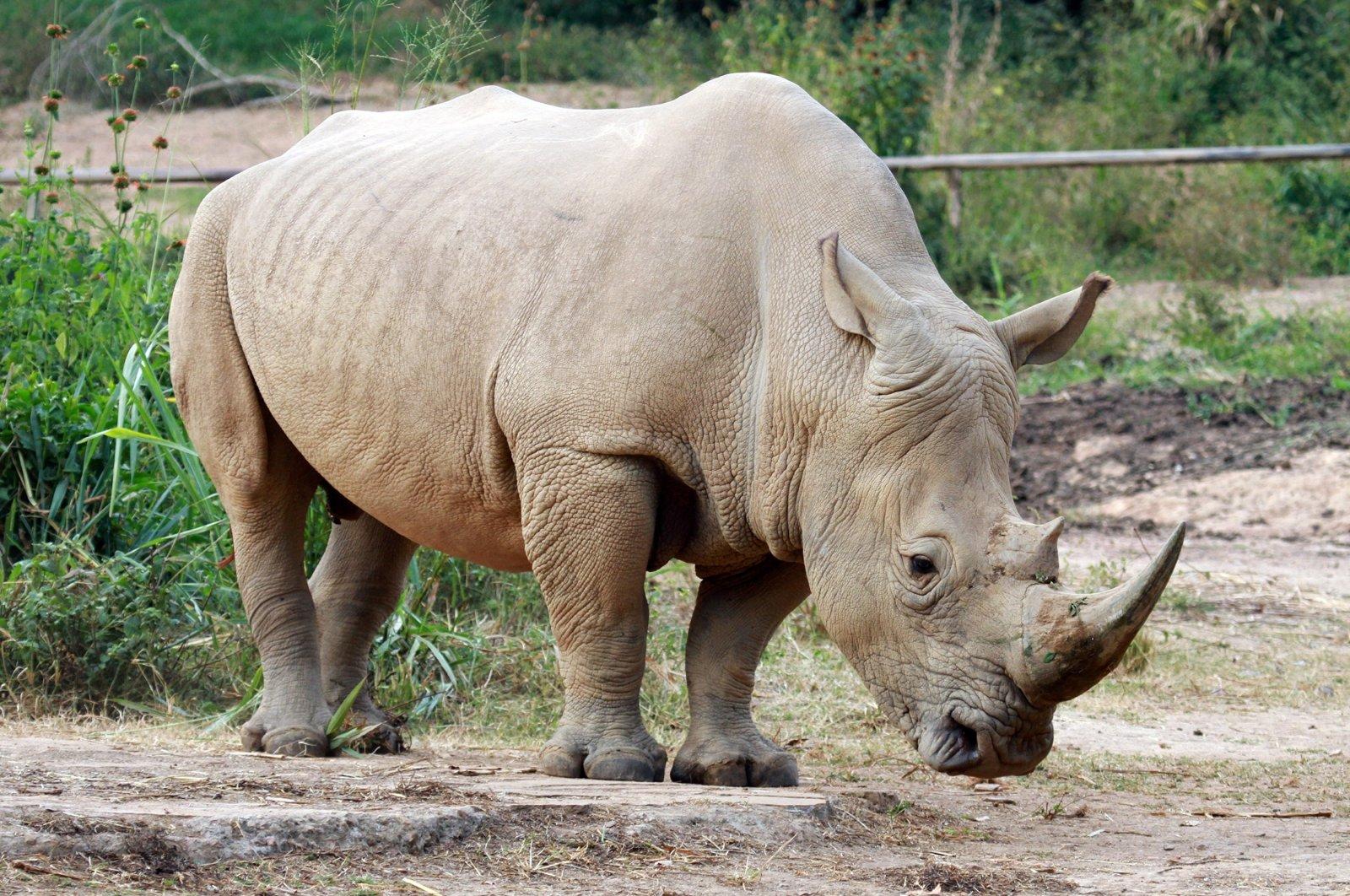 A southern white rhinoceros in Uganda (Shutterstock Photo)