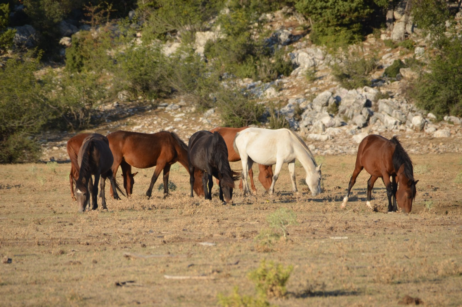 A view of wild horses in Ibradı district, in Antalya, southern Turkey, Sept. 22, 2021. (IHA Photo)