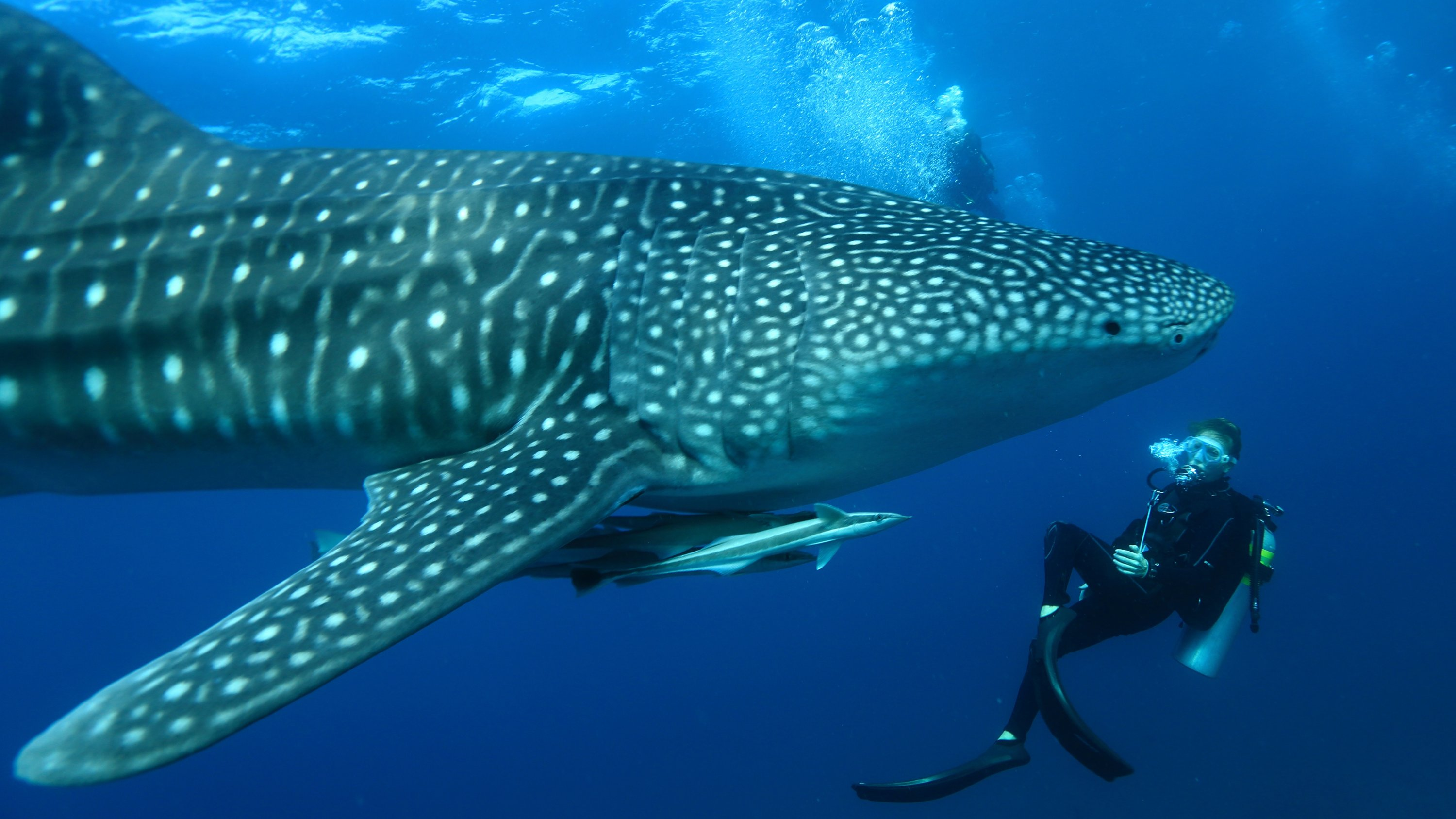 South Ari Atoll, where Mirihi is located, is one of the best places in the Maldives for chance to spot whale sharks, the gentle giants of the oceans. (Photo courtesy of Mirihi Maldives)