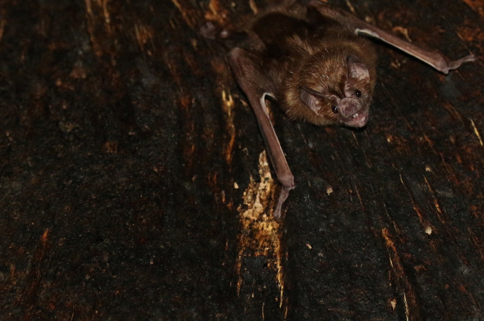 A vampire bat is seen roosting inside a tree in Tole, Panama, 2018.  (Reuters Photo)