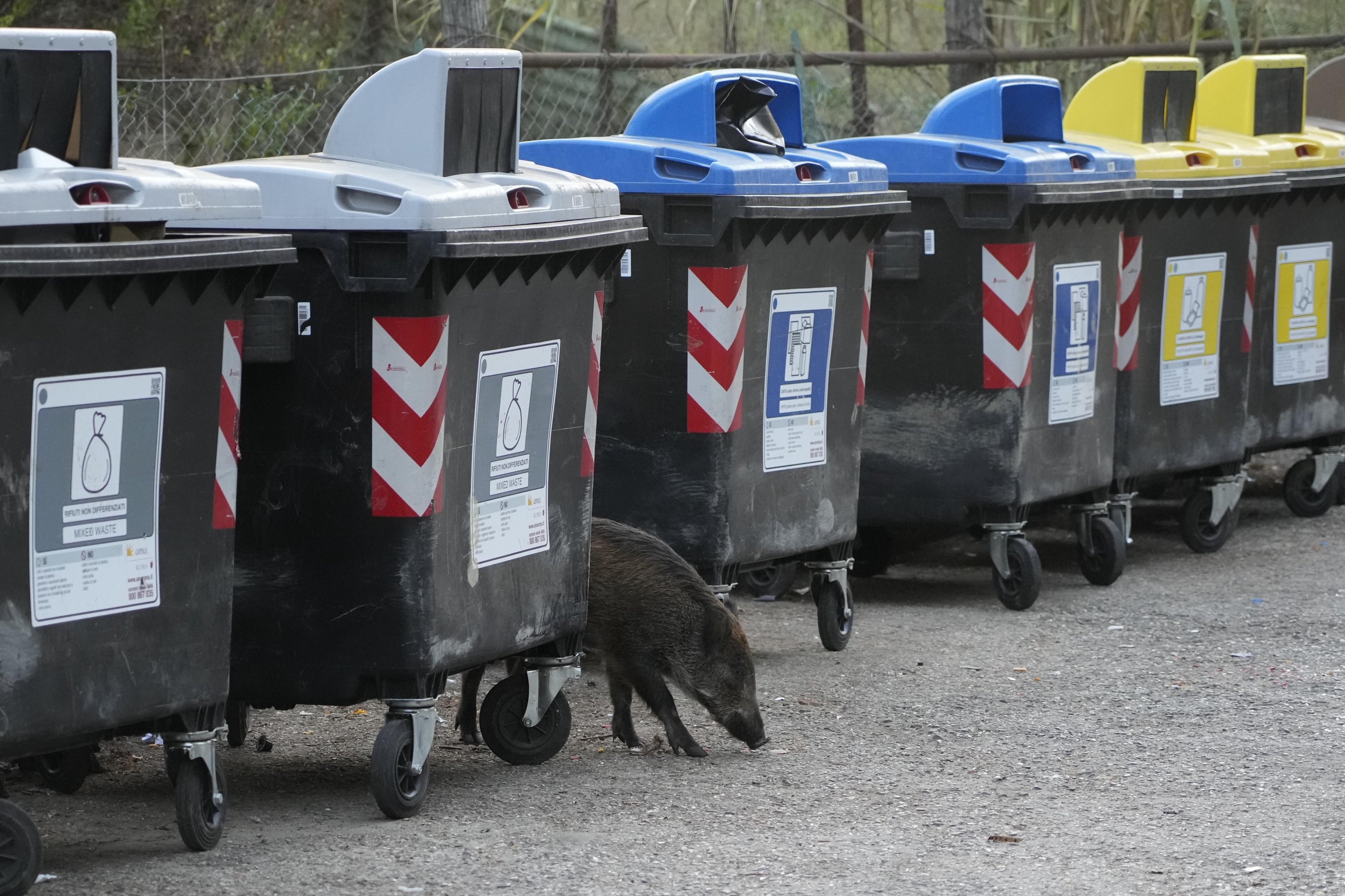 A wild boars strolls past trash bins in Rome, Italy, Sept. 24, 2021. (AP Photo)
