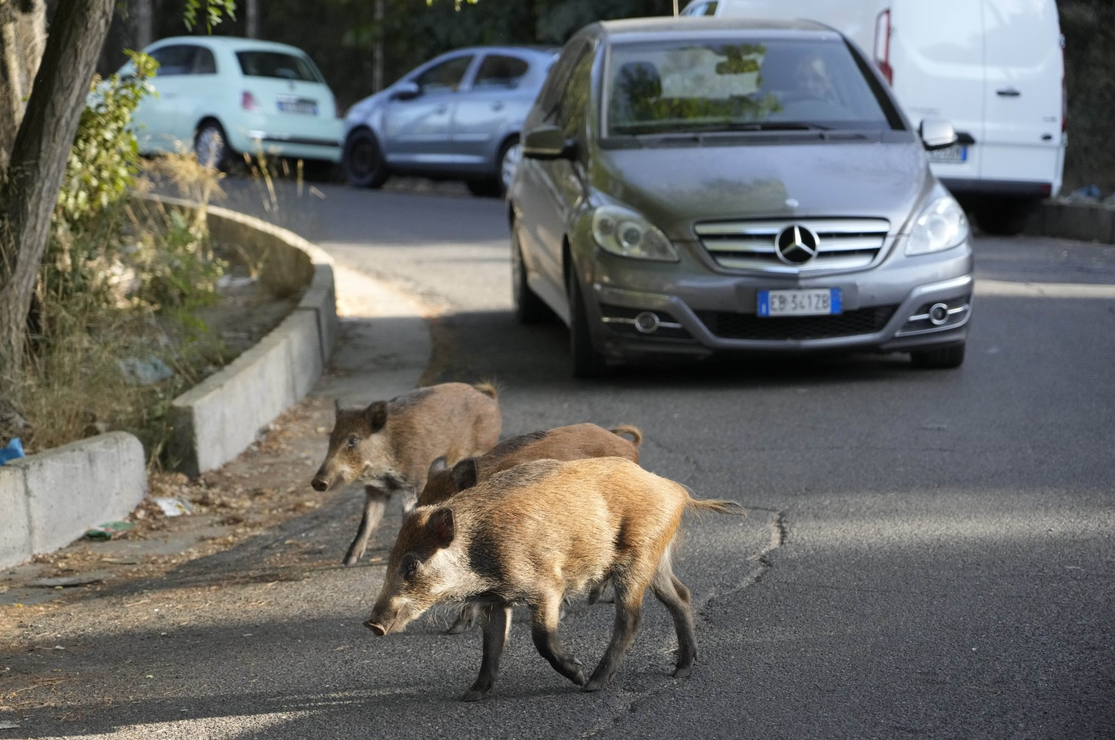 Wild boars cross a street in Rome, Italy, Sept. 24, 2021. (AP Photo)