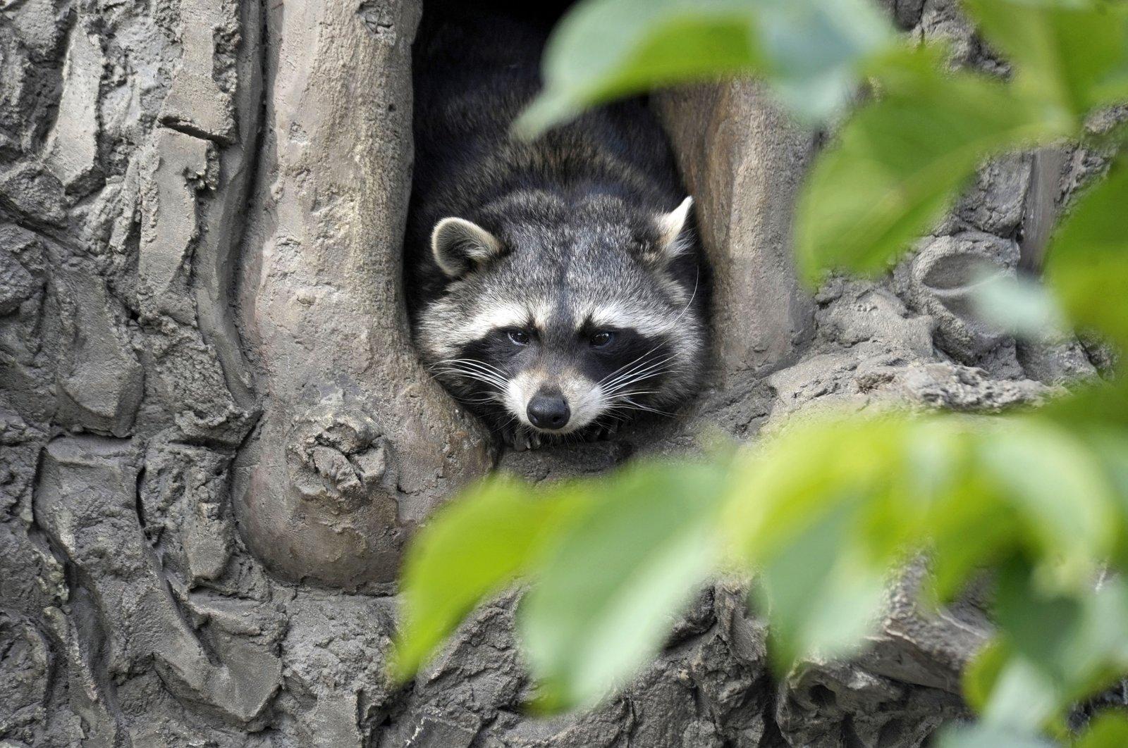 A raccoon is seen on the premises of the Podilskyi Zoo, Vinnytsya, Ukraine, Sept 28, 2021. (Getty Images)