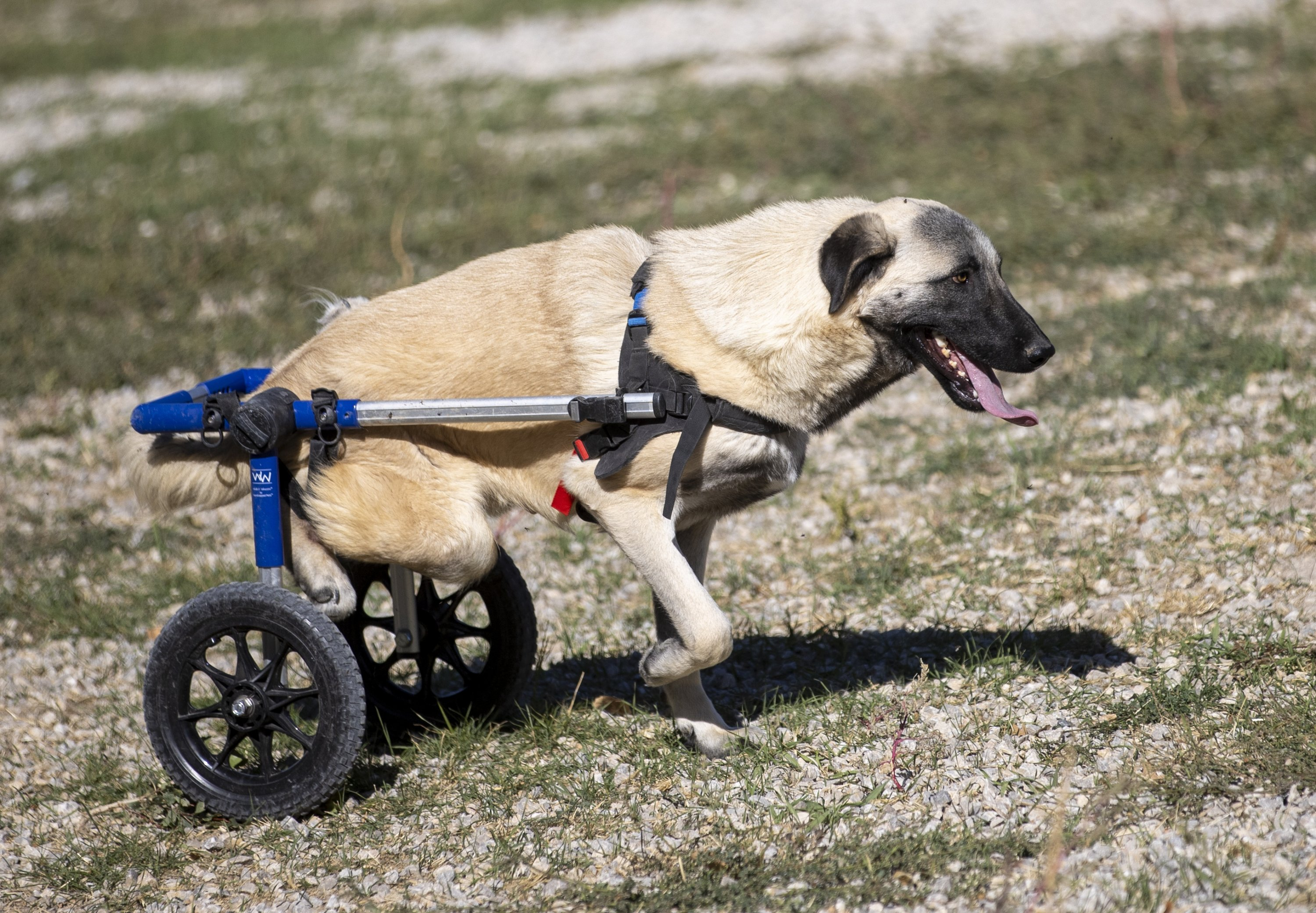 A dog on a walker is seen at the shelter built by Patiko in Etimesgut, Ankara, Turkey, Oct. 3, 2021. (AA Photo)
