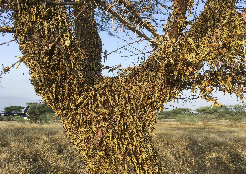 Locusts swarm on a tree south of Lodwar town in Turkana county, northern Kenya, June 23, 2020. (AP Photo/Boris Polo)