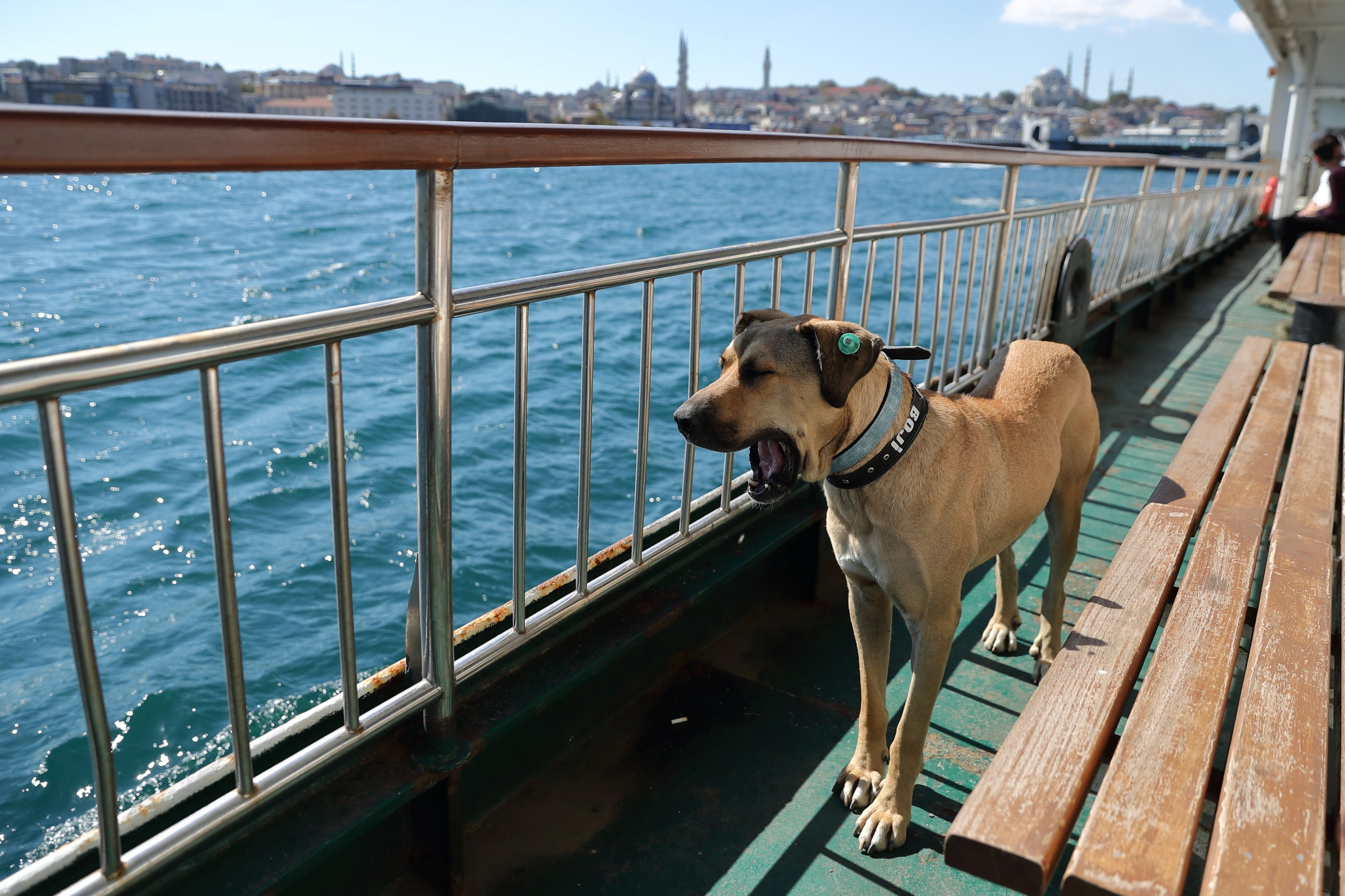 Boji stands as he yawns on a ferry that runs between the city's Asian and European sides, Istanbul, Turkey, Oct. 5, 2021. (Reuters Photo)