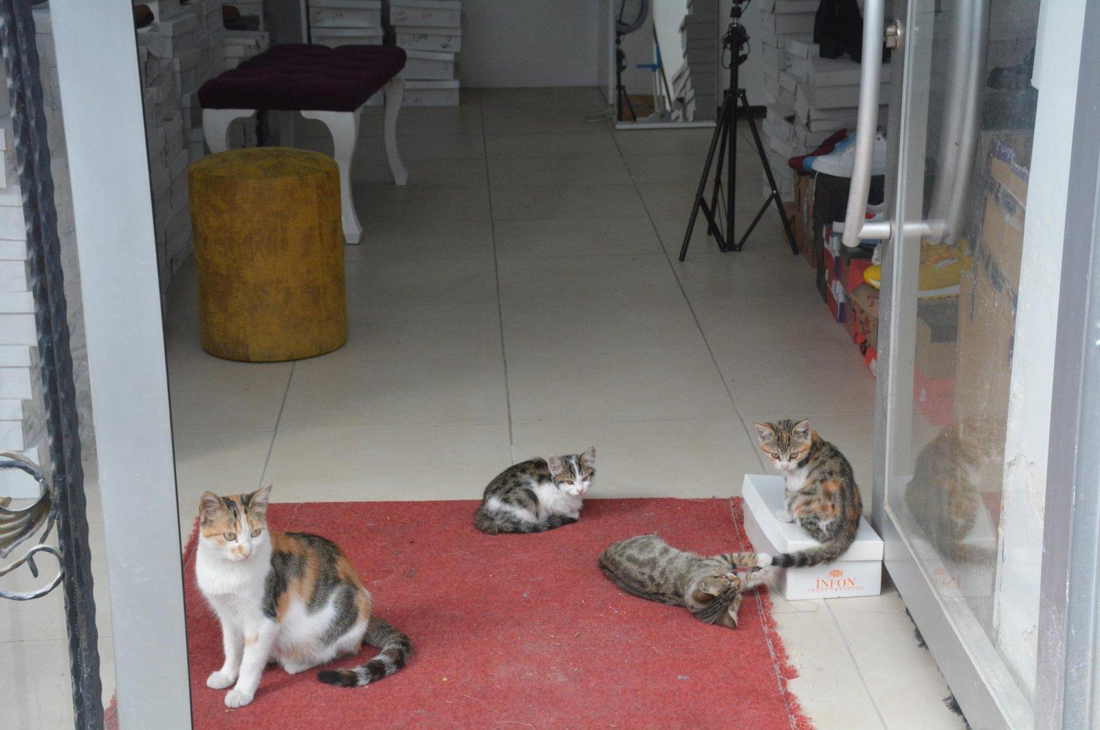 Cats sit around at the entrance of Emrah Aslan's shoe store, in Gazipaşa neigborhood of Bilecik, Turkey, Oct. 12, 2021. (DHA Photo)
