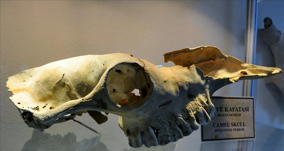 A camel skull found in the Marmaray excavations on display at Istanbul University's Osteoarchaeology Research Center, Istanbul, Turkey, Nov. 5, 2015. (AA Photo)